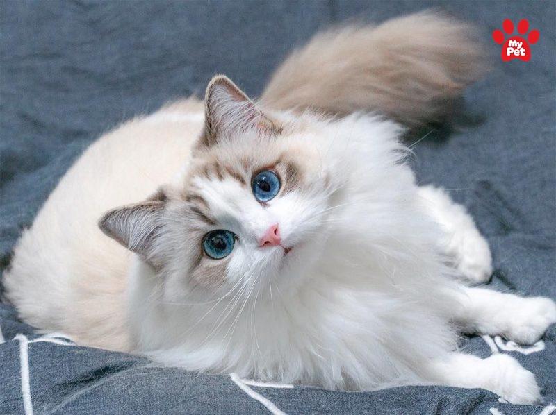Đôi mắt màu xanh đặc trưng của Ragdoll