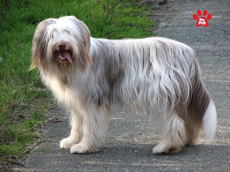 Bearded Collie được yêu thích nhờ bộ lông dài xinh đẹp