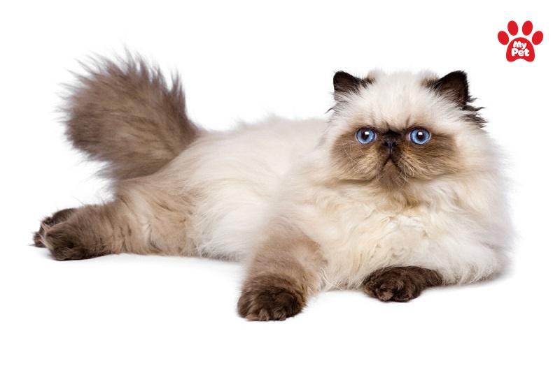 mèo himalayan