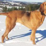 Chó săn bloodhound