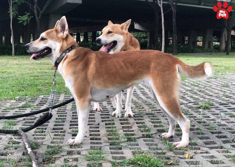 Các giống chó giá rẻ nhất tại thị trường Việt Nam hiện nay