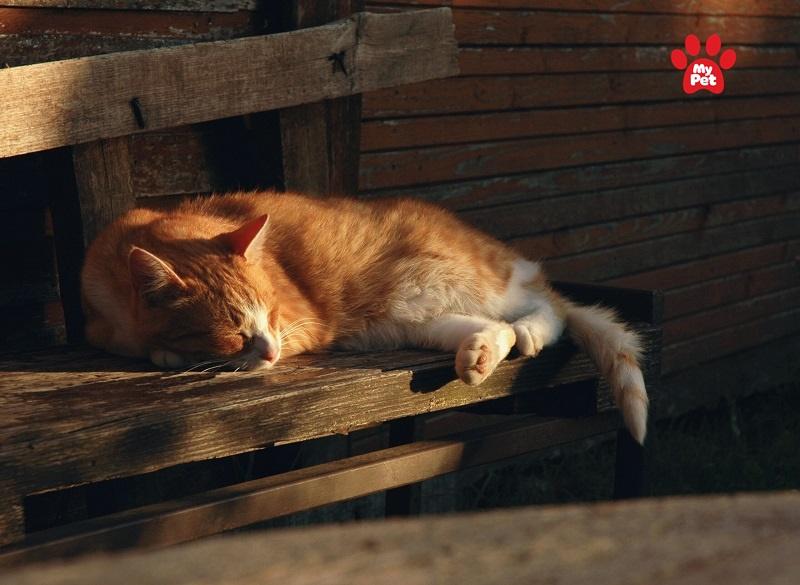 Mèo bị rụng lông vì không hấp thụ đủ ánh sáng mặt trời
