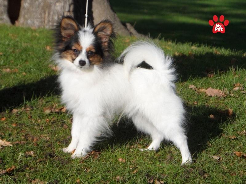 Bệnh gối vẹo thườngxuất hiện ở những chú chó nhỏ