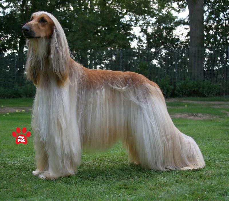Ngoại hình vô cùng xinh đẹp của chó