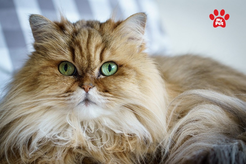 Vẻ ngoài khá giống với mèo Anh lông ngắn