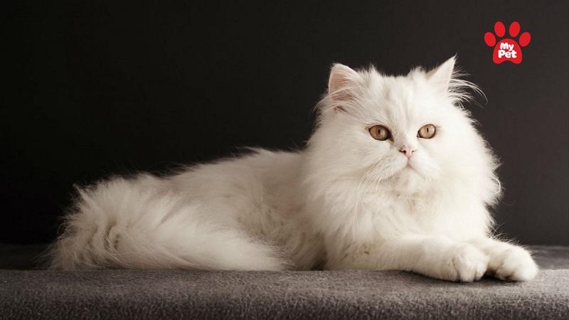 mèo anh lông dài