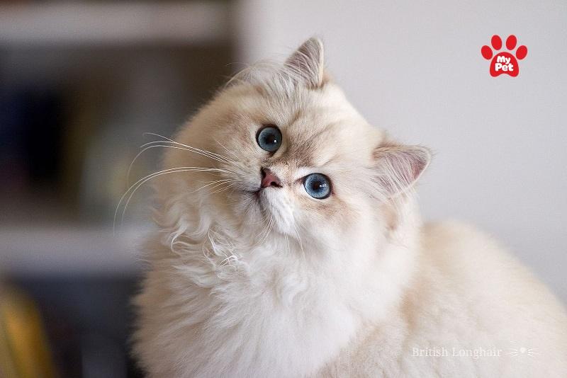 Vẻ đẹp của mèo Anh lông dài