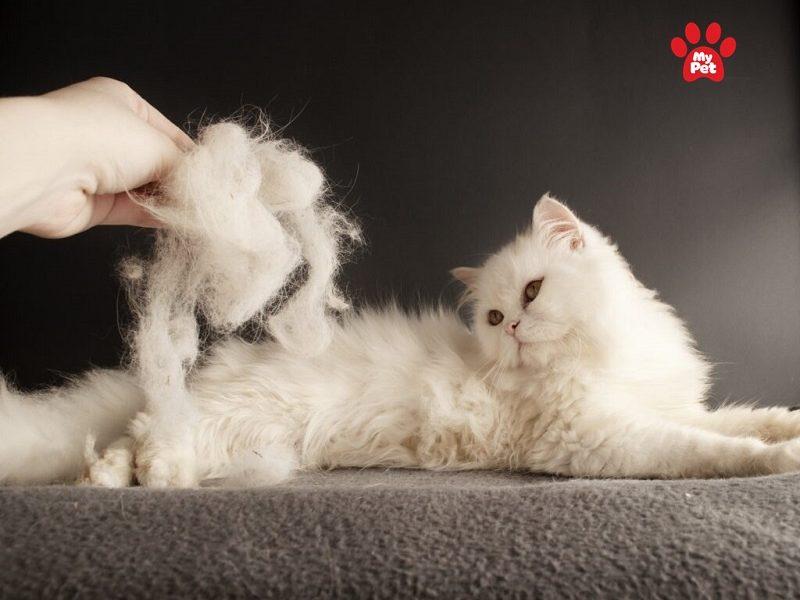 mèo bị rụng lông