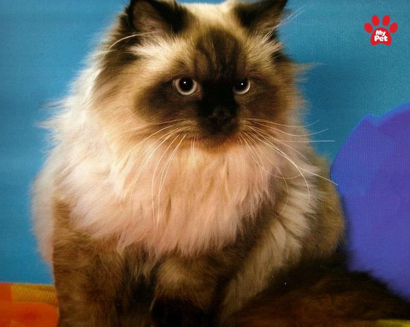 nét đẹp pha trộn giữa mèo Ba Tư và mèo Xiêm