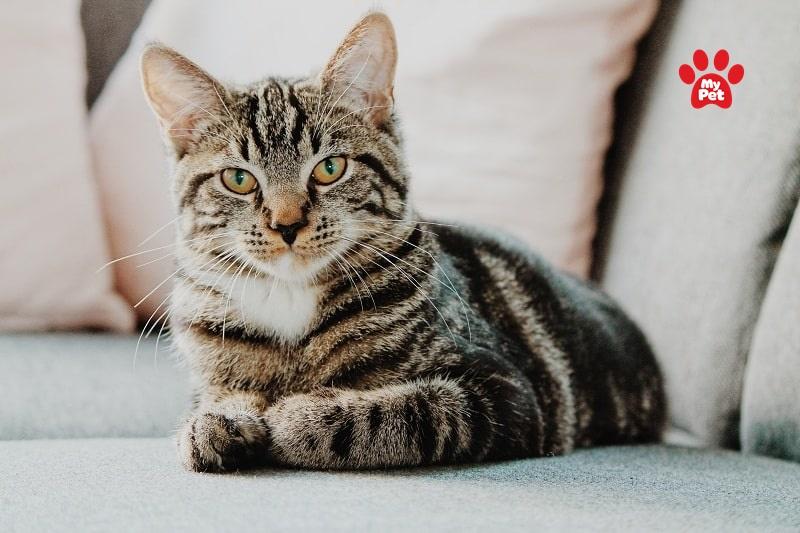 Mèo mướp Việt Nam
