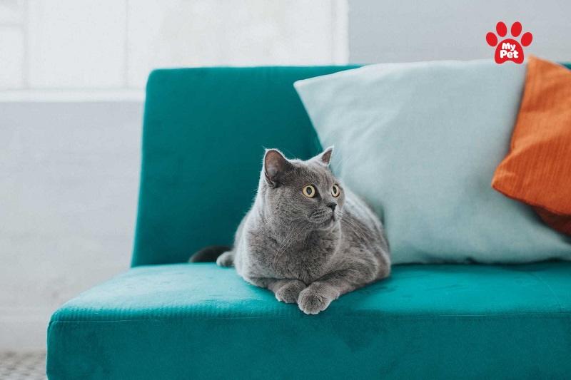 Thảm hay sô pha là những nơi yêu thích của mèo