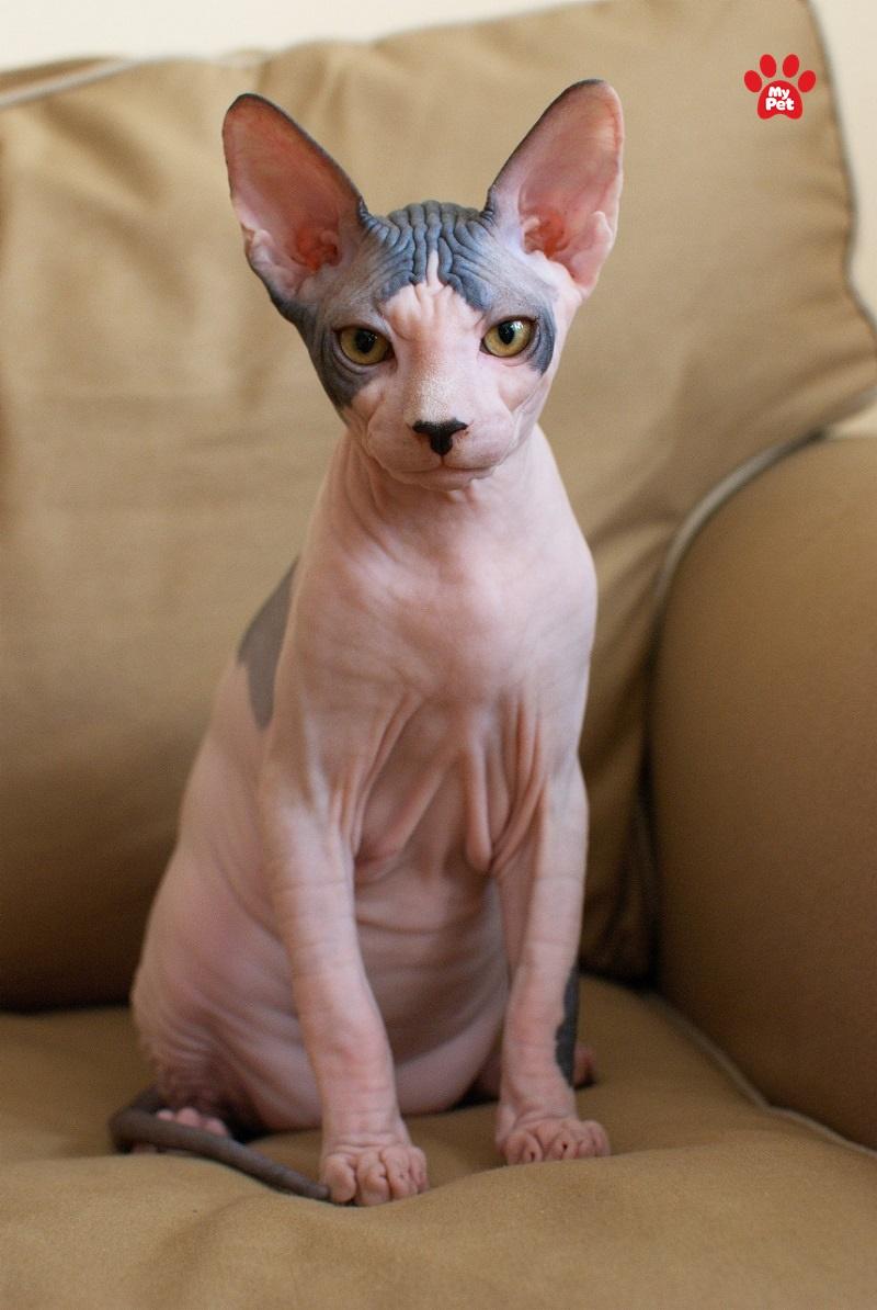 Mèo Sphynx cực kỳ thân thiện, khác xa với vẻ ngoài lạnh lùng