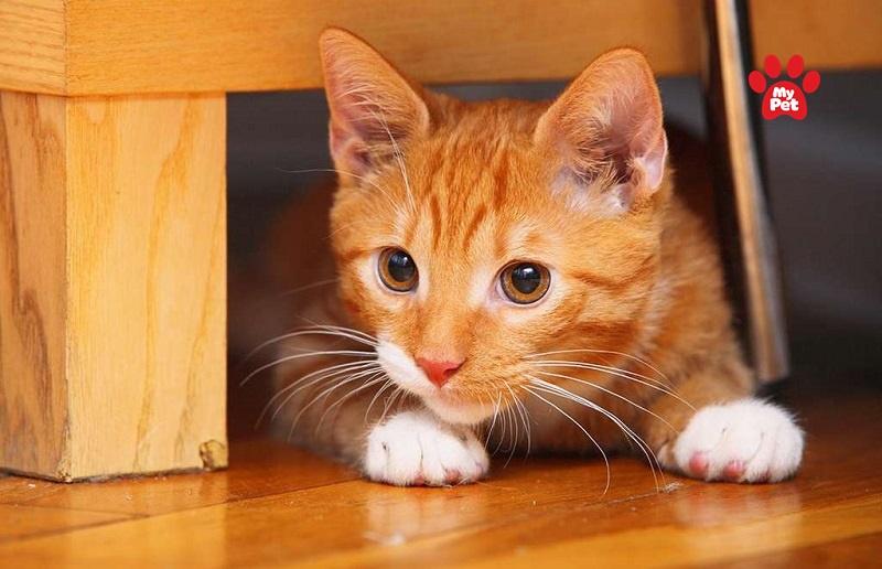 Mèo vàng có các đặc điểm đặc trưng của một chú mèo Châu Á