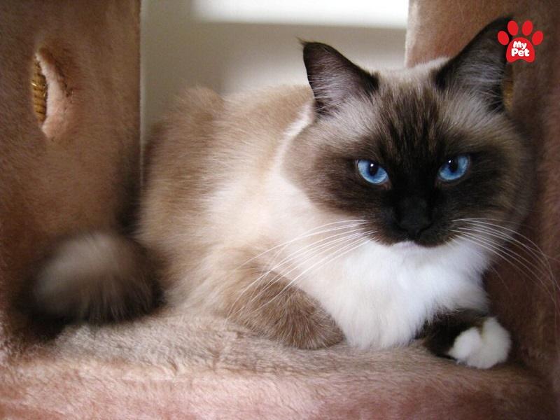 Mèo Xiêm sở hữu ngoại hình cực xinh đẹp