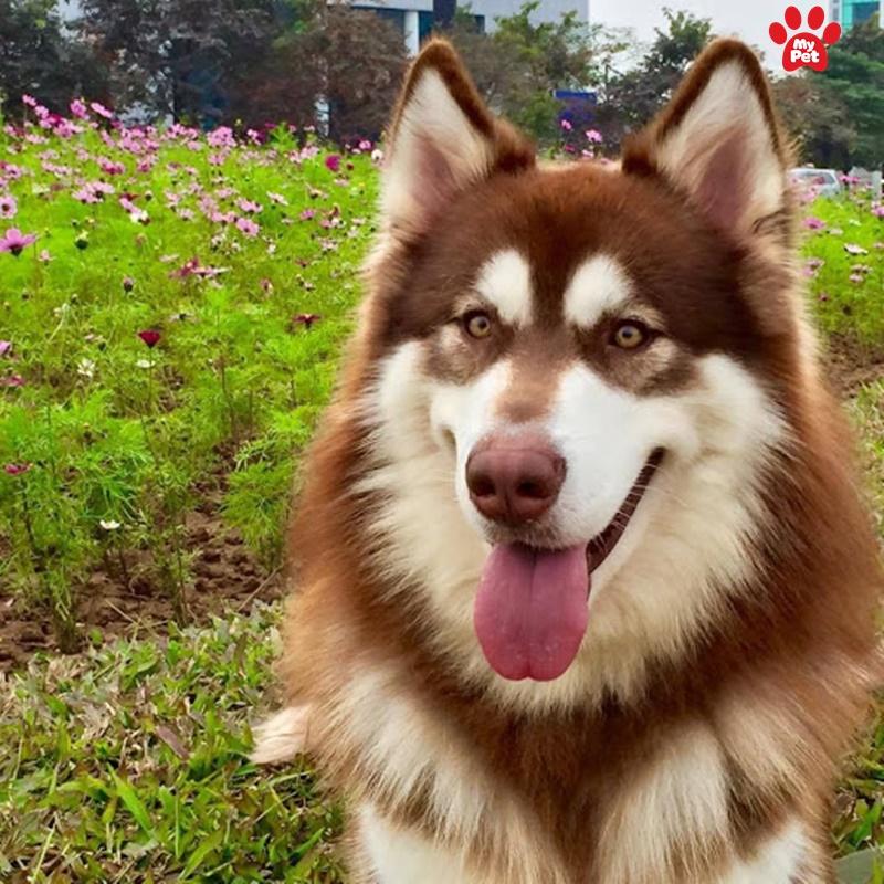Bộ lông củ chó Alaska thường dài và dày hơn