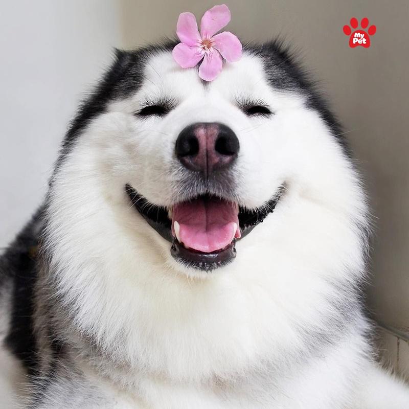 Biểu cảm cực đáng yêu của Husky