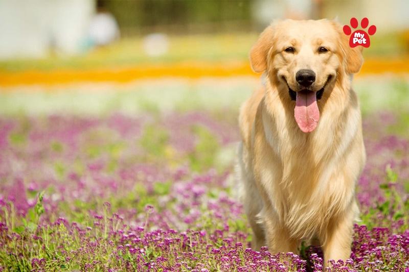 Golden - Chú chó có lối sống tình cảm