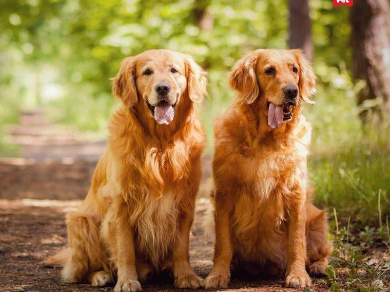 chó golden