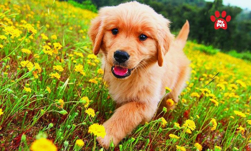Golden là loài chó dễ thích nghi ở nhiều điều kiện sống khác nhau