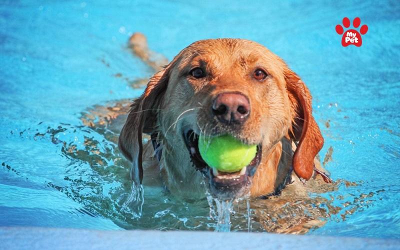 Golden là giống chó rất sợ nước