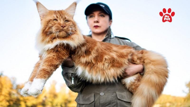 Ngoại hình to lớn của mèo Maine Coon