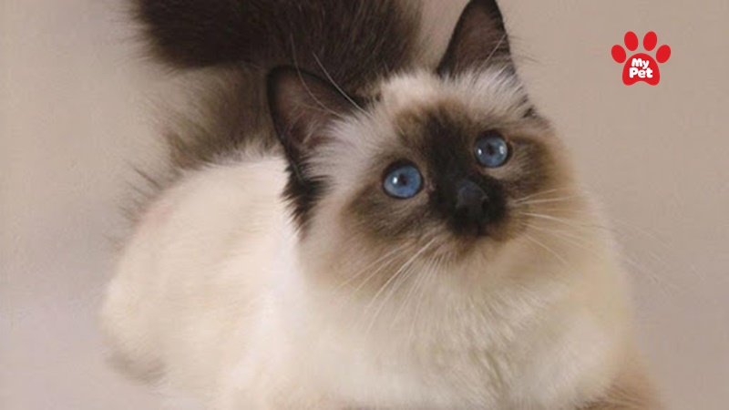Mèo Ba Tư- một trong các giống mèo phổ biến tại Việt Nam