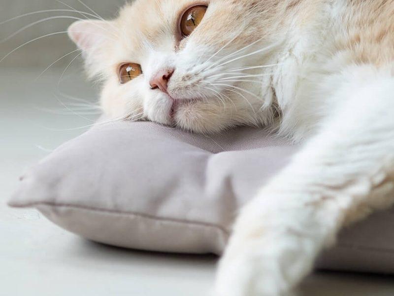 mèo bị bệnh