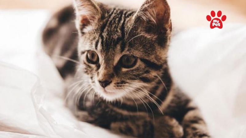 Mèo mướp- một trong các giống mèo phổ biến tại Việt Nam