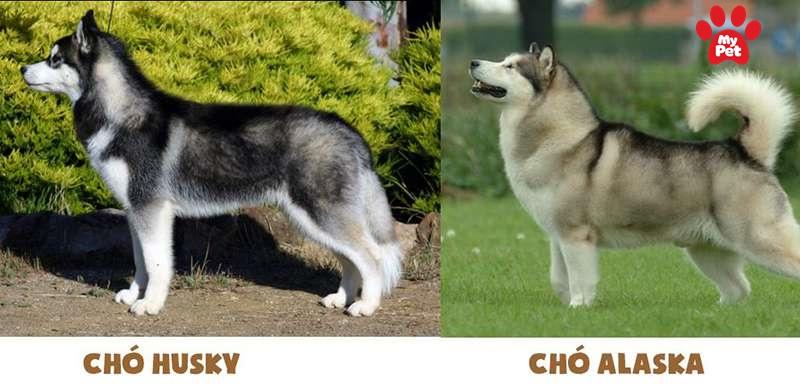 chó alaska và husky