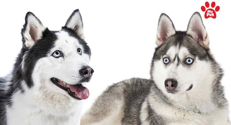 Cận cảnh chó Alaska và Husky